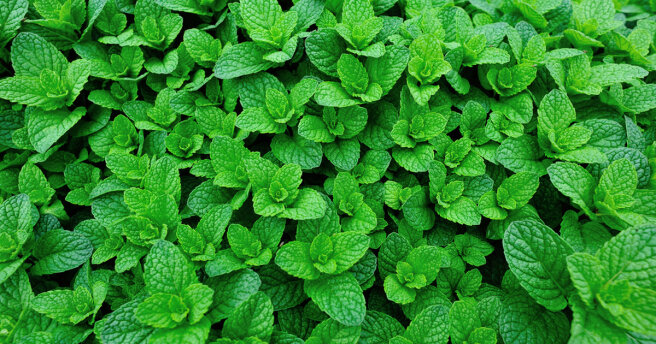 How to prepare mint for the winter: 3 ways